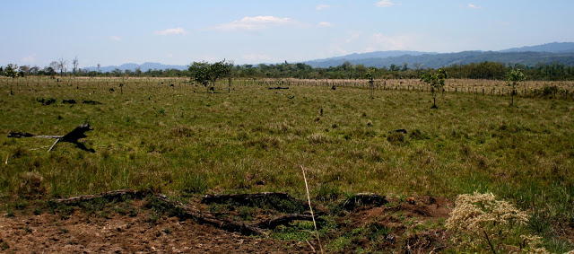Cattle pasture with Montes Azules Biosphere Reserve in background.