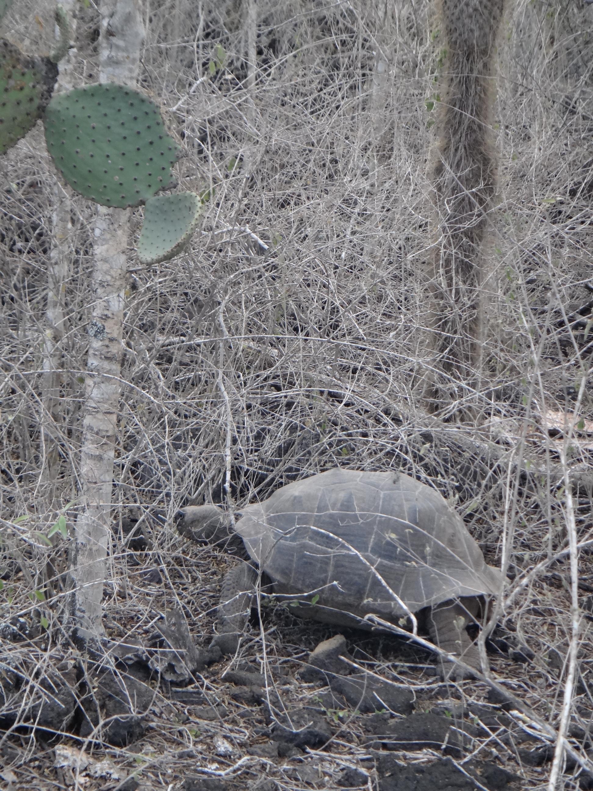 Ecuador_Galapagos Islands_Isla Isabela_Parque Nacional Galapagos near Purto Villamil_Giant Land Tortoise