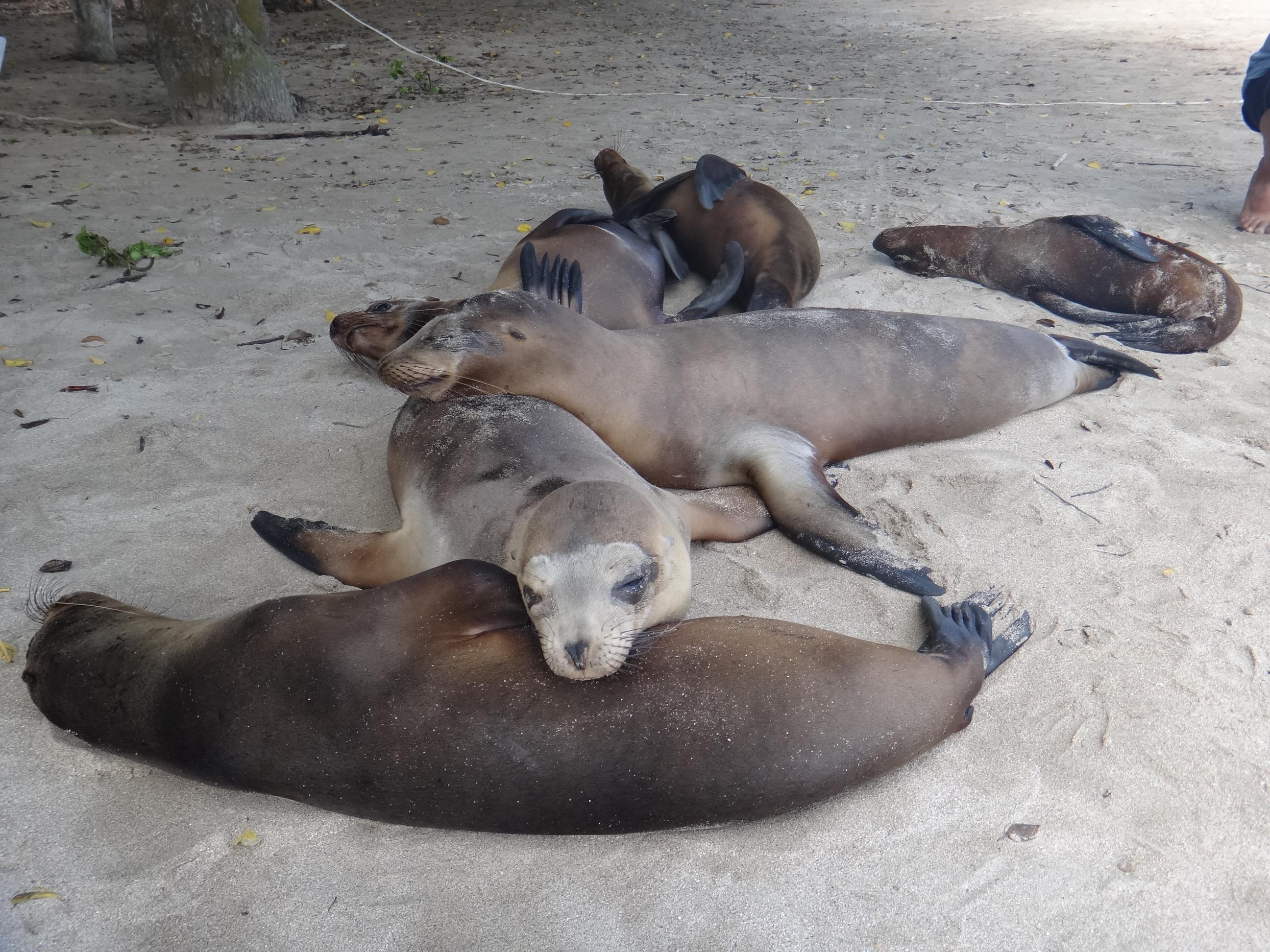 Ecuador_Galapagos Islands_Isla Isabela_Sea Lions lazing about playa near port in Puerto Villamil