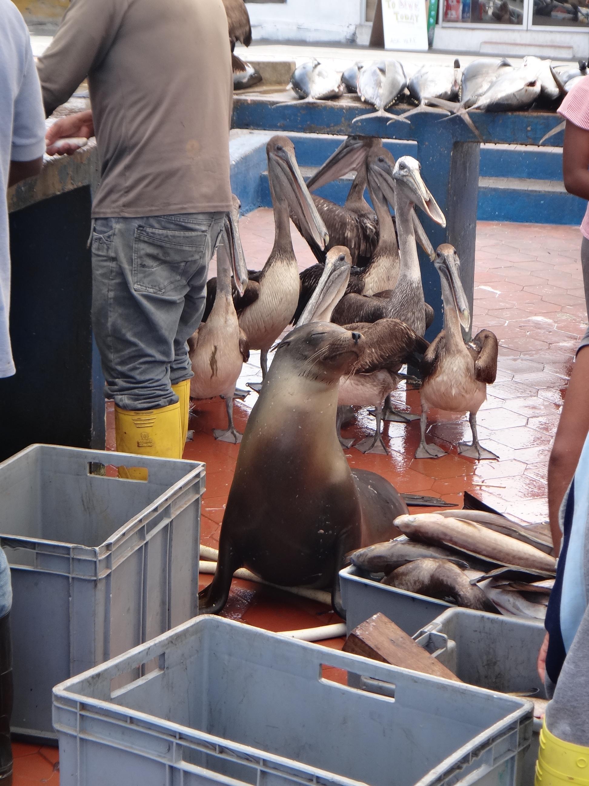 Ecuador_Galapagos Islands_Isla Santa Cruz_fish market in Puerto Ayora