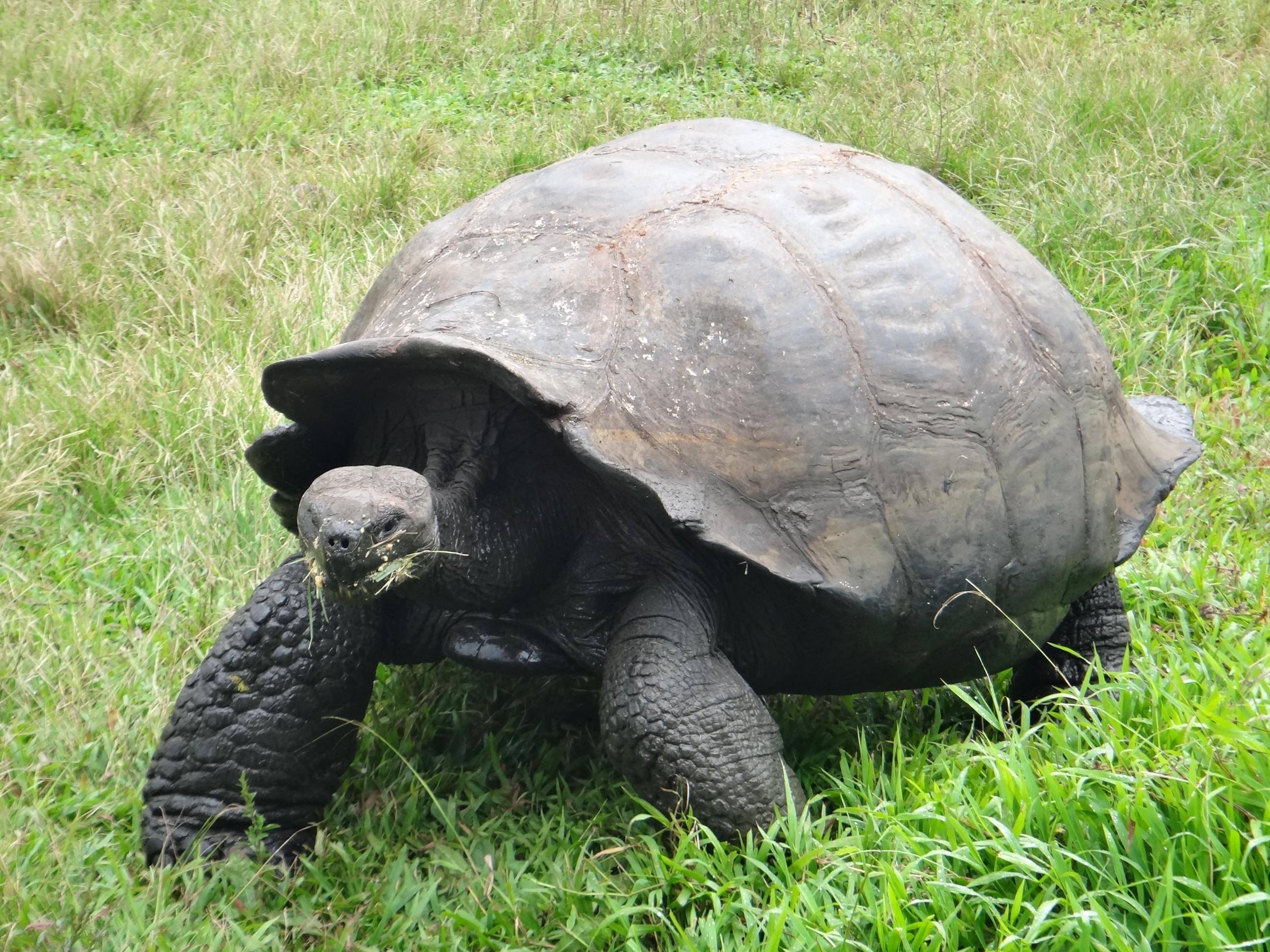 Ecuador_Galapagos Islands_Isla Santa Cruz_Rancho Primicias Wildlife Reserve in Santa Rosa_Giant Land Tortoise