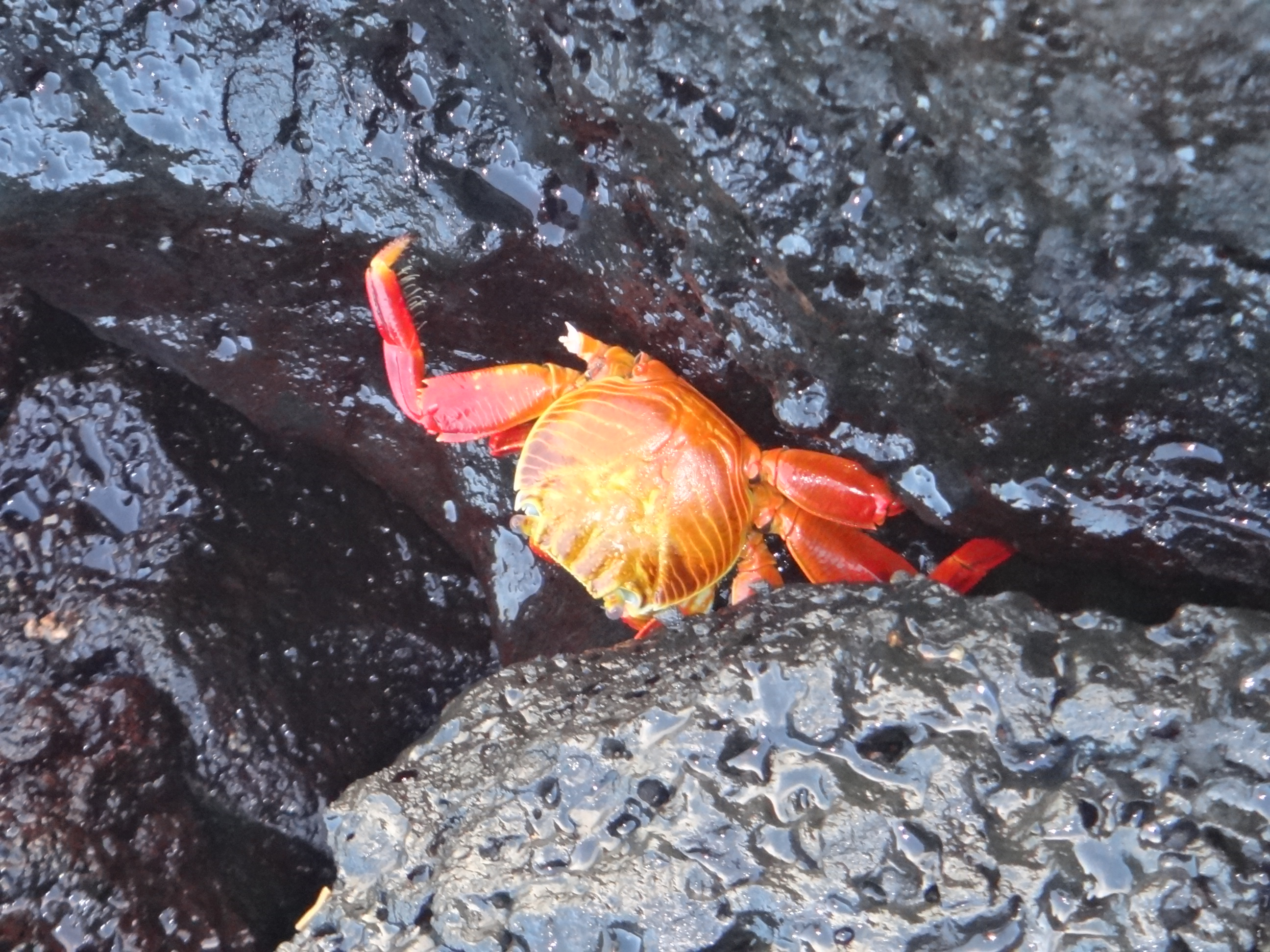 Ecuador_Galapagos Islands_Isla Santa Cruz_Sally Lightfoot crab at  Playa Estacion